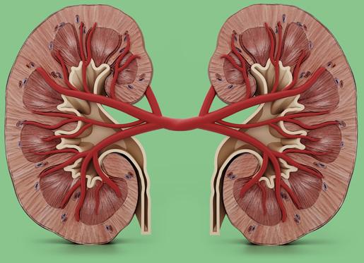 Gesunde Niere   Nierenrechner